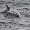 1009 whitebeaked dolphin