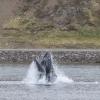 100918 lunge feeding humpback Holmavik 2