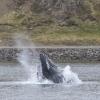 100918 lunge feeding humpback Holmavik 3
