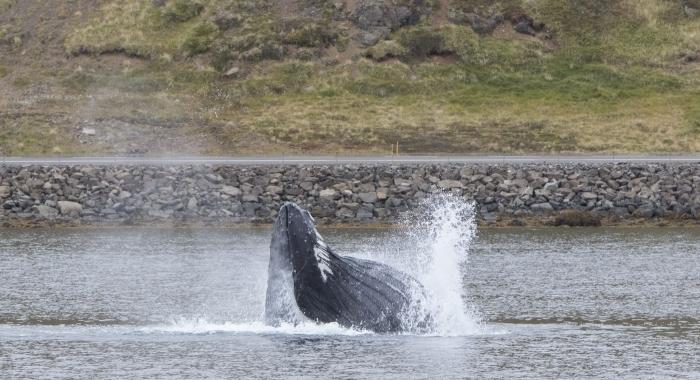 100918 lunge feeding humpback Holmavik 4