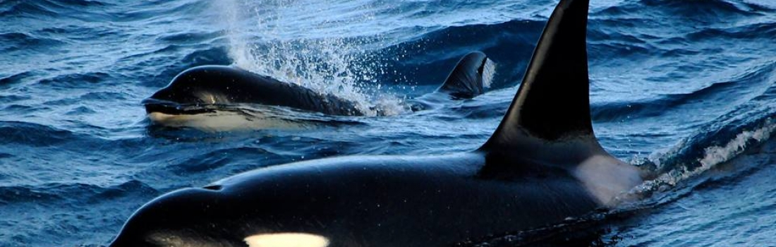 We had both orcas and sperm whales today