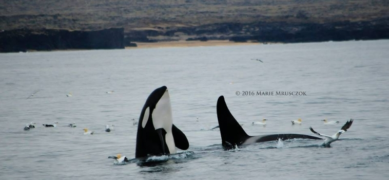At least 150 orcas