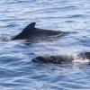 120918 pilot whales close