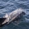120918 whitebeaked dolphin close