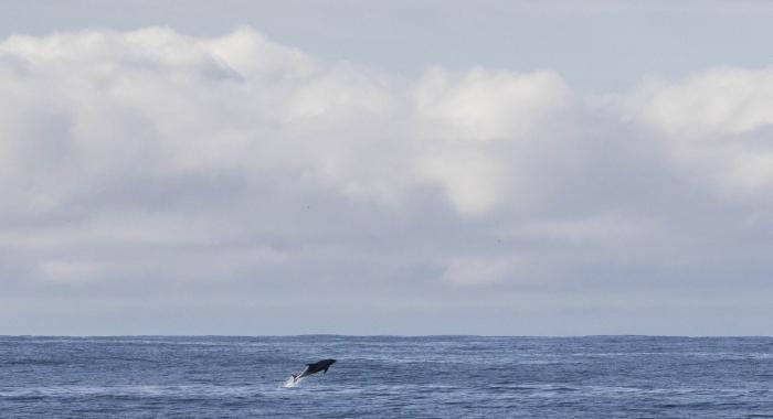 120918 whitebeaked dolphin leap