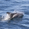 120918 whitebeaked dolphin