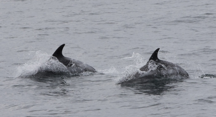 130918 dolphins