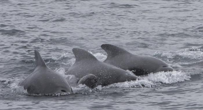 130918 pilot whale group