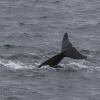 130918 pilot whale tail