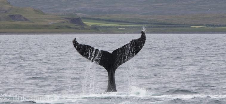 Five species day in Snæfellsnes and active humpbacks in Hólmavík