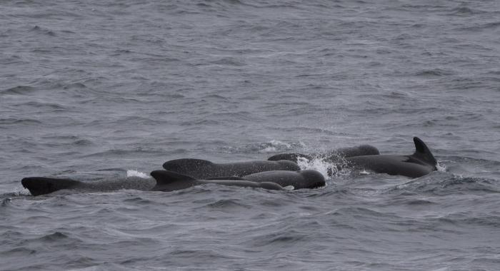 140918 group pilot whales