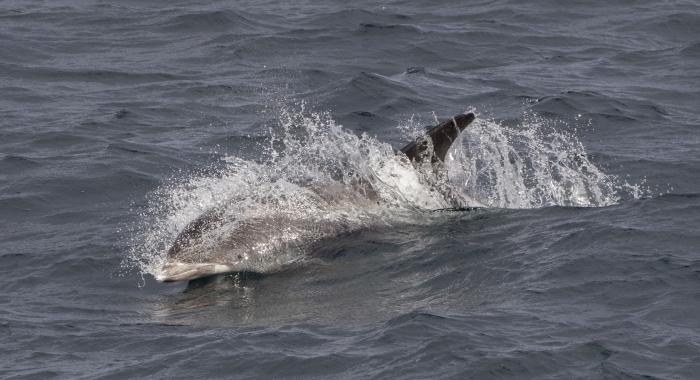 140918 whitebeaked dolphin