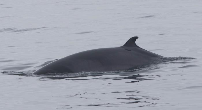 150718 close MInke whale 2