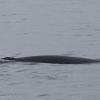 150718 close MInke whale