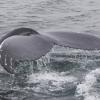 150718 humpback fluke_