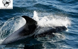 20 white-beaked dolphins