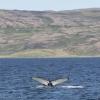 170718 humpback ID 2