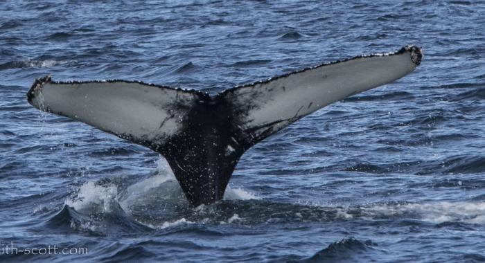 170718 humpback ID