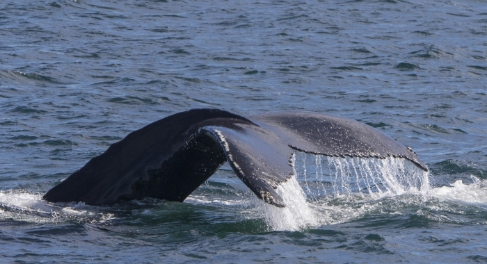 170718 humpback whale fluke