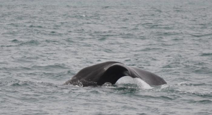 170718 sperm whale fluke