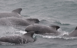 Pilot whales are back in Ólafsvík while the humpbacks remain in Hólmavík