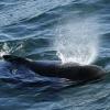 1808 pilot whale