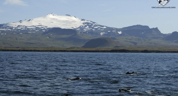 1808 pilot whales with glacier Olafsvik