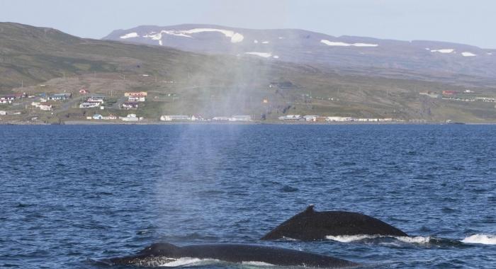 180818 2 humpbacks