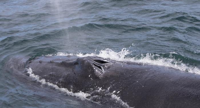 180818 humpback blowholes Holmavik