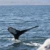 180818 humpback close fluke