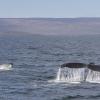180818 humpback double fluke