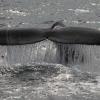 180818 humpback sunshine flukes Holmavik