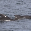 180818 pilot whales Holmavik