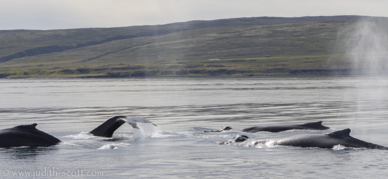 19/08/2018 Holmavik humpbacks abound