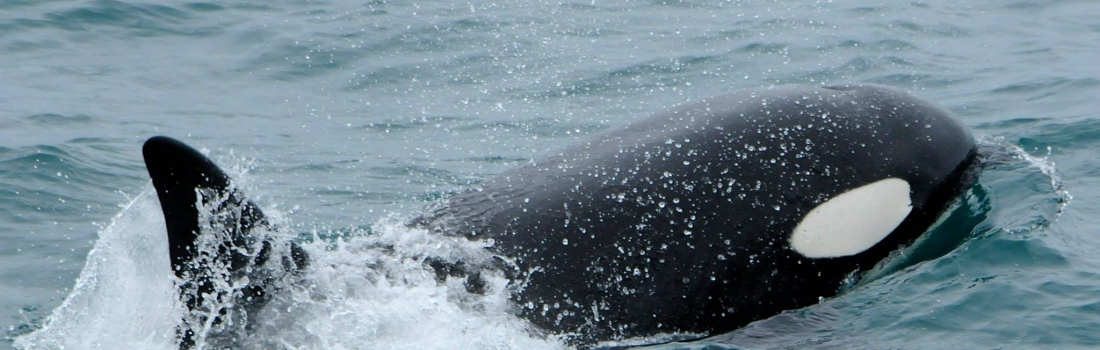Sperm whales and white beaked dolphins