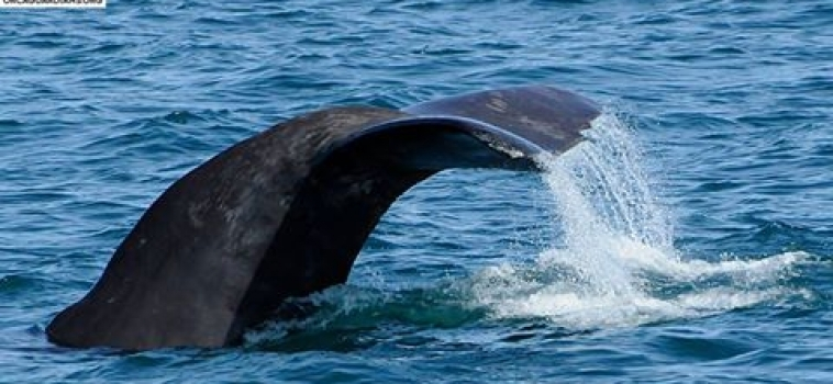 White-beaked dolphin and Sperm Whales