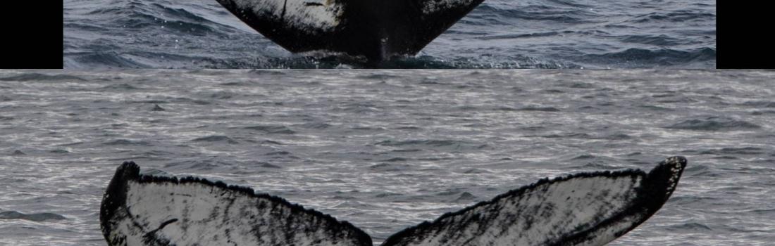 Number of Humpbacks