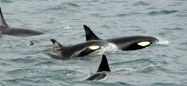 At least 40 orcas around the boat