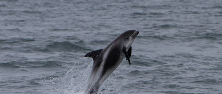 Playful group of white-beaked dolphins