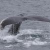 200818 humpback fluke
