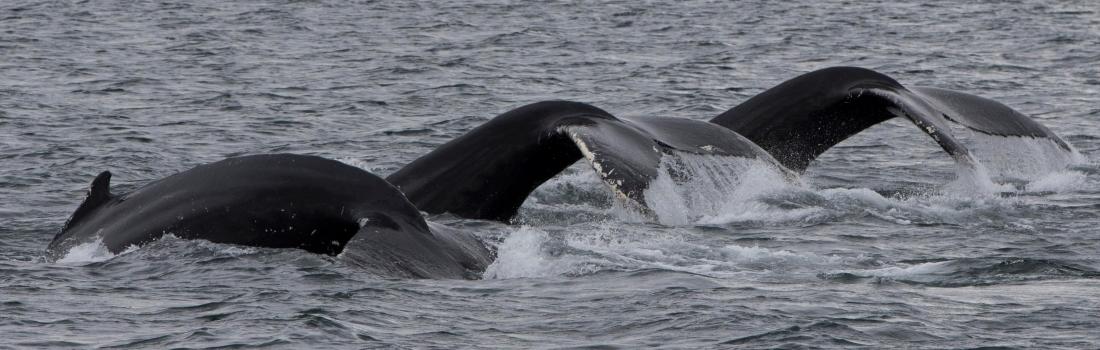 20/08/2018 Whale threesome!