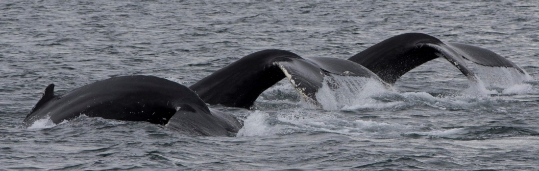 20/08/2018 Whale threesome!