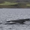 200818 triple humpbacks