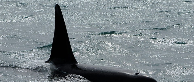 Couple of orcas