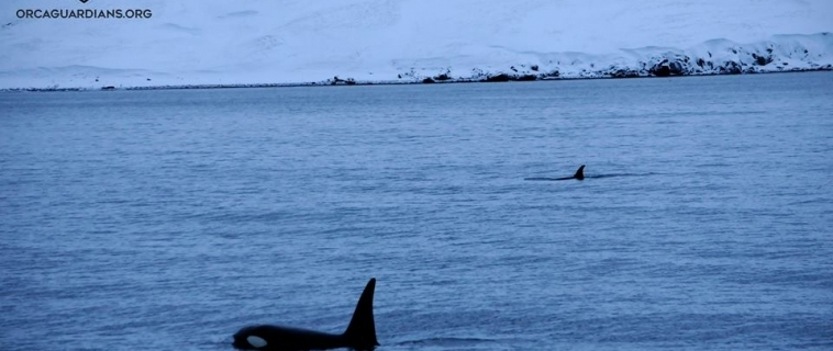 Group of orcas after a long search