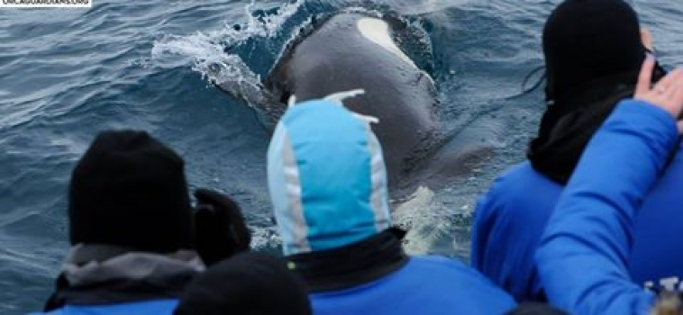 Close-up experience with the orcas