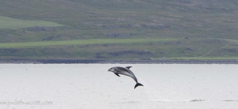 Orcas in Ólafsvík, humpbacks and dolphins in Hólmavík