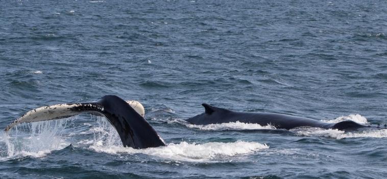 25/08/2018: Minke whales in Ólafsvík, three species in Hólmavík