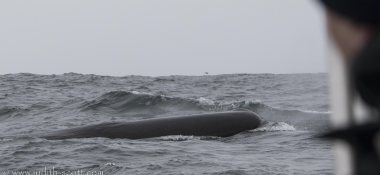 Sperm whales, cachalot, pottwal