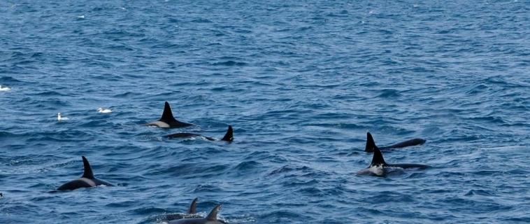 Two groups of orcas in Breiðafjörður